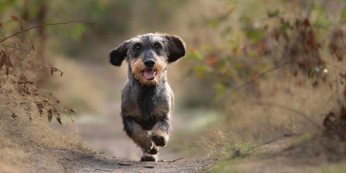 Hondenfotografie, Teckel rent op bospad