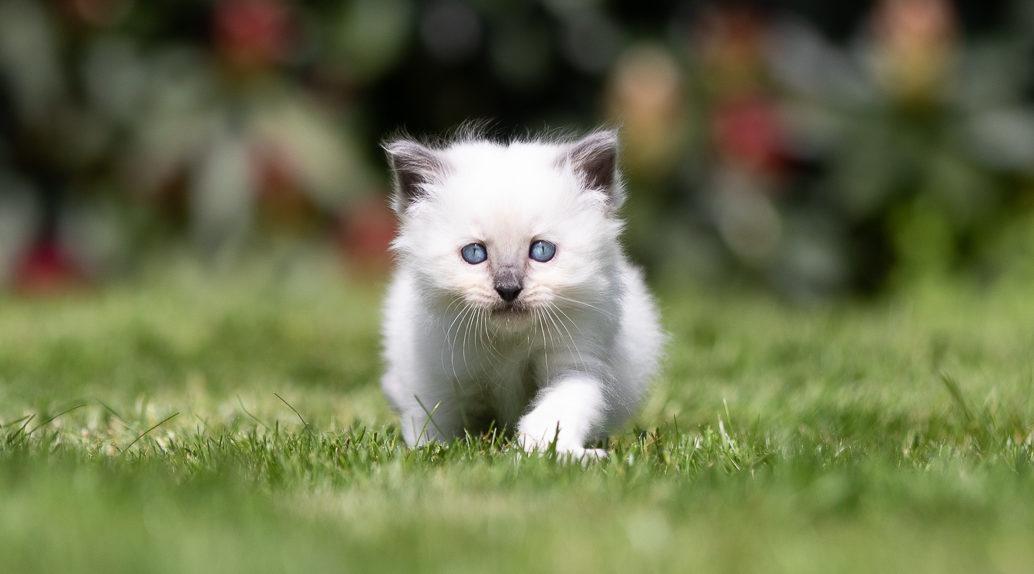 Ragdoll kitten in het gras