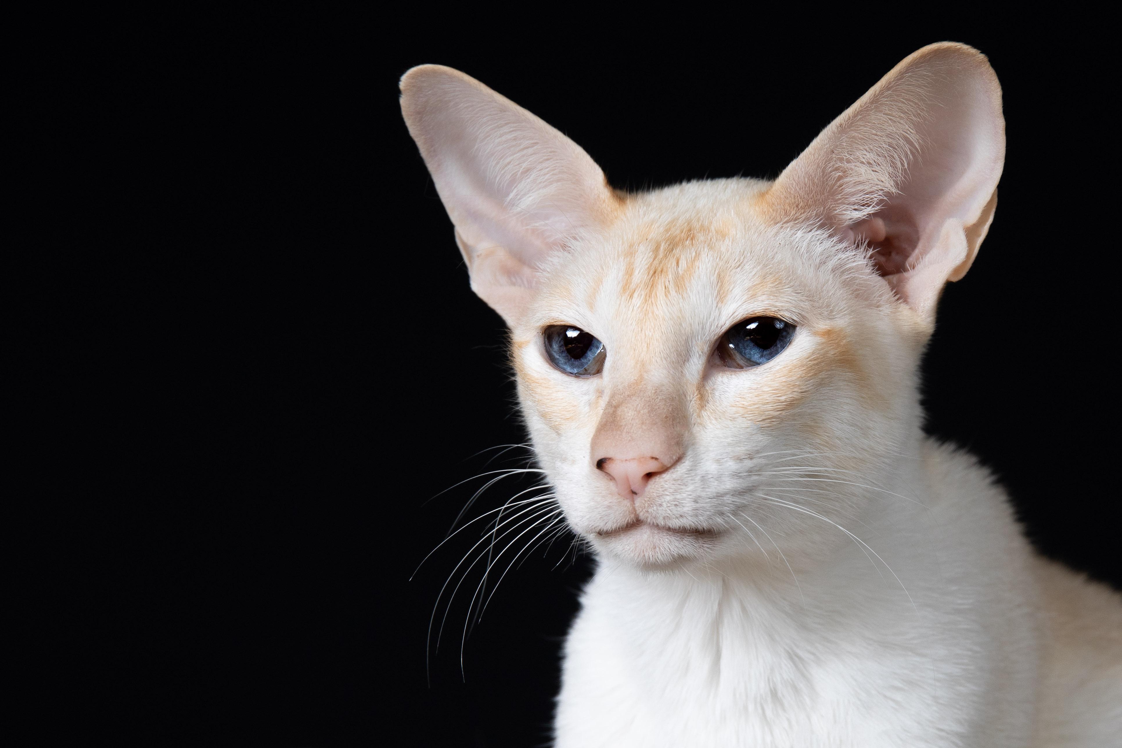 Marleen Verheul Fotografie, kattenfotografie, dierenfotograaf, Siamees in studio