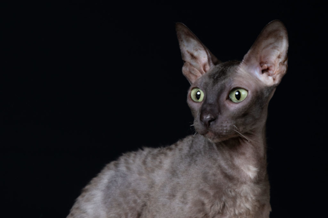 Marleen Verheul Fotografie, kattenfotografie, dierenfotograaf, Cornish rex in studio