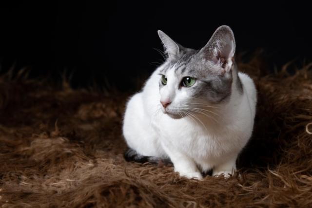 Marleen Verheul Fotografie, kattenfotografie, dierenfotograaf, oosterse korthaar in studio