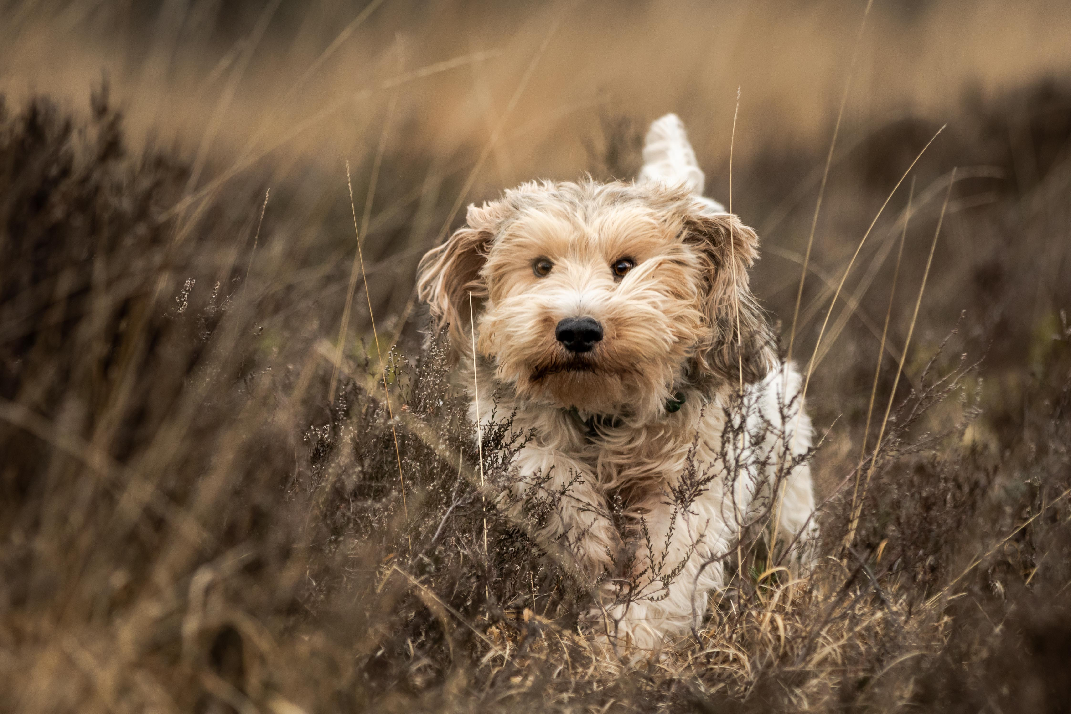 Marleen Verheul Fotografie, hondenfotografie, hondenfotograaf, Grand basset Griffon vendéen