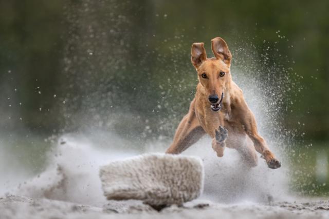 Marleen Verheul Fotografie, hondenfotografie, windhond in actie op renbaan