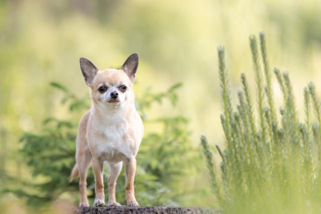 Marleen Verheul Fotografie-hondenfotografie-chihuahua