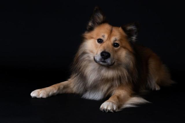 Marleen Verheul Fotografie, hondenfotografie, hondenfotograaf, IJslandse hond, studiofotografie