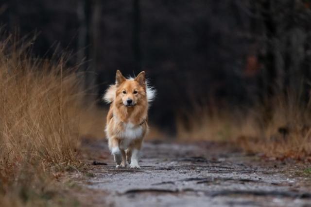 Marleen Verheul Fotografie, hondenfotografie, hondenfotograaf, IJslandse hond rent door het bos