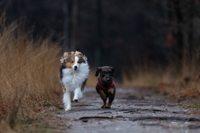 Marleen Verheul Fotografie, hondenfotografie, hondenfotograaf, Sheltie en Teckel rennen door het bos