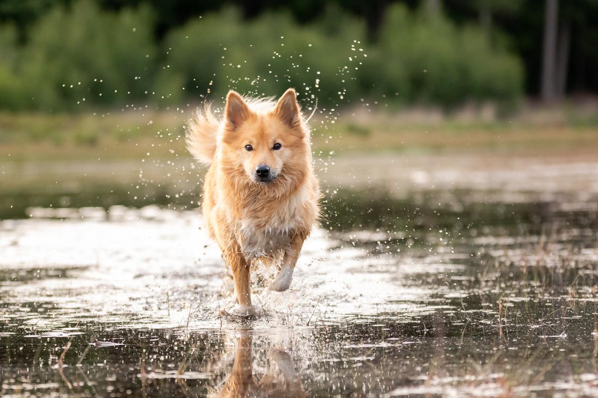 Marleen Verheul Fotografie-hondenfotografie-ijslandse hond