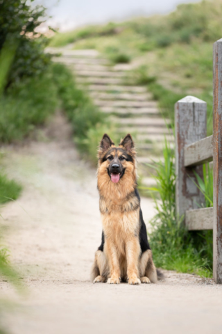 Marleen Verheul Fotografie-hondenfotografie-oudduitse herder