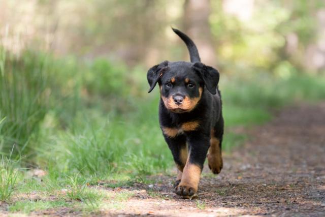 Marleen Verheul Fotografie-hondenfotografie-rottweiler