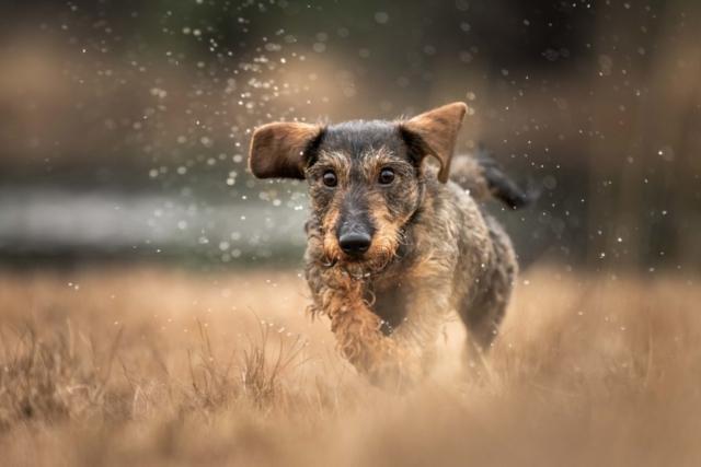 Marleen Verheul Fotografie, hondenfotografie, hondenfotograaf, Teckel rent door het water in het bos