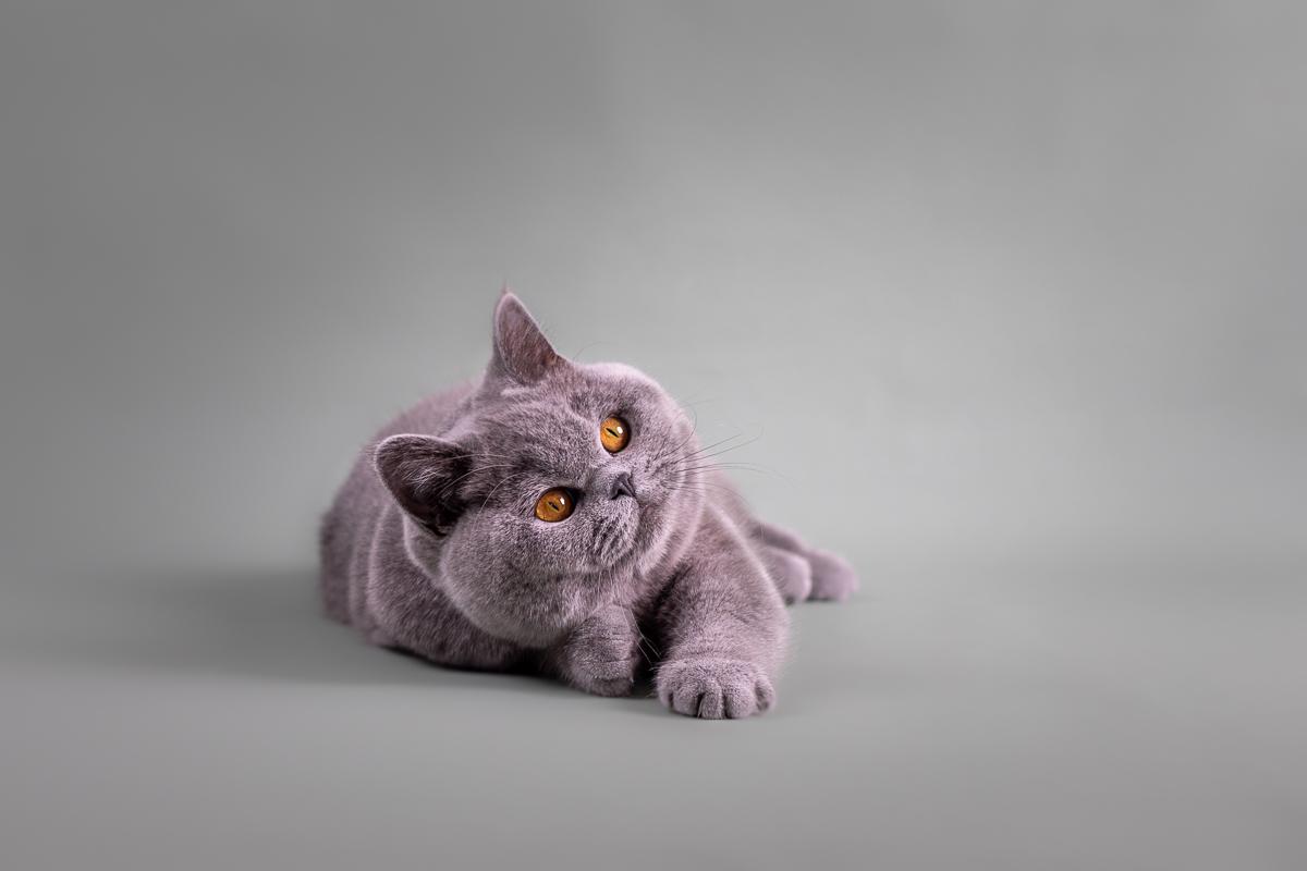 Marleen Verheul Fotografie-kattenfotografie-britse korthaar