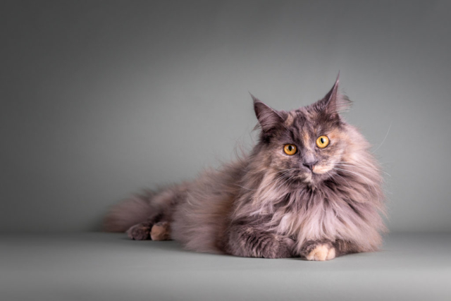Marleen Verheul Fotografie-kattenfotografie-maine coon