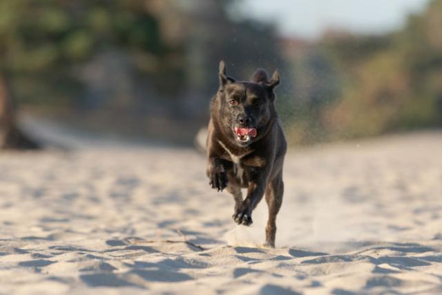 Marleen Verheul Fotografie, hondenfotografie, hondenfotograaf, hond rent door de duinen