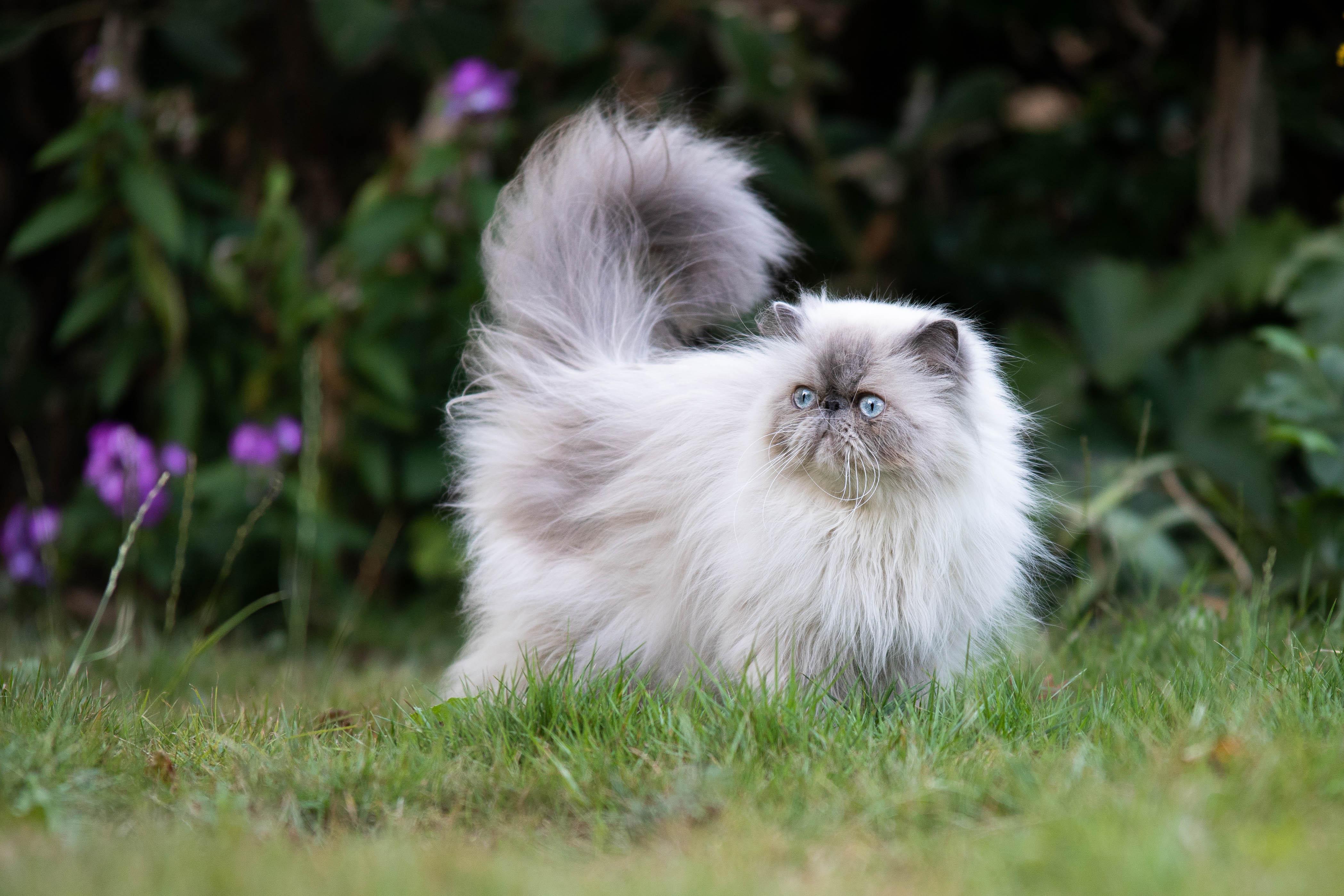 Marleen Verheul Fotografie, dierenfotografie, kattenfotografie, dierenfotograaf, Perzische kat in de tuin