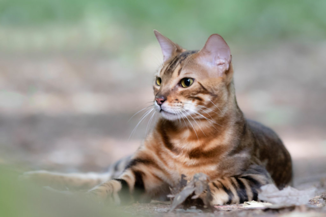 Marleen Verheul Fotografie, dierenfotografie, kattenfotografie, dierenfotograaf, Bengaalse kat in het bos