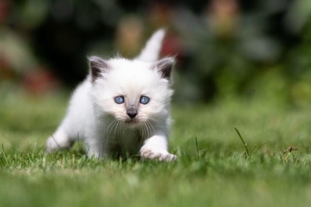 Marleen Verheul Fotografie, dierenfotografie, kattenfotografie, dierenfotograaf, Ragdoll kitten in het gras