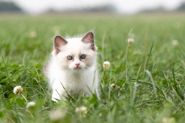 Marleen Verheul Fotografie, dierenfotografie, kattenfotografie, dierenfotograaf, Ragdoll kitten in het weiland