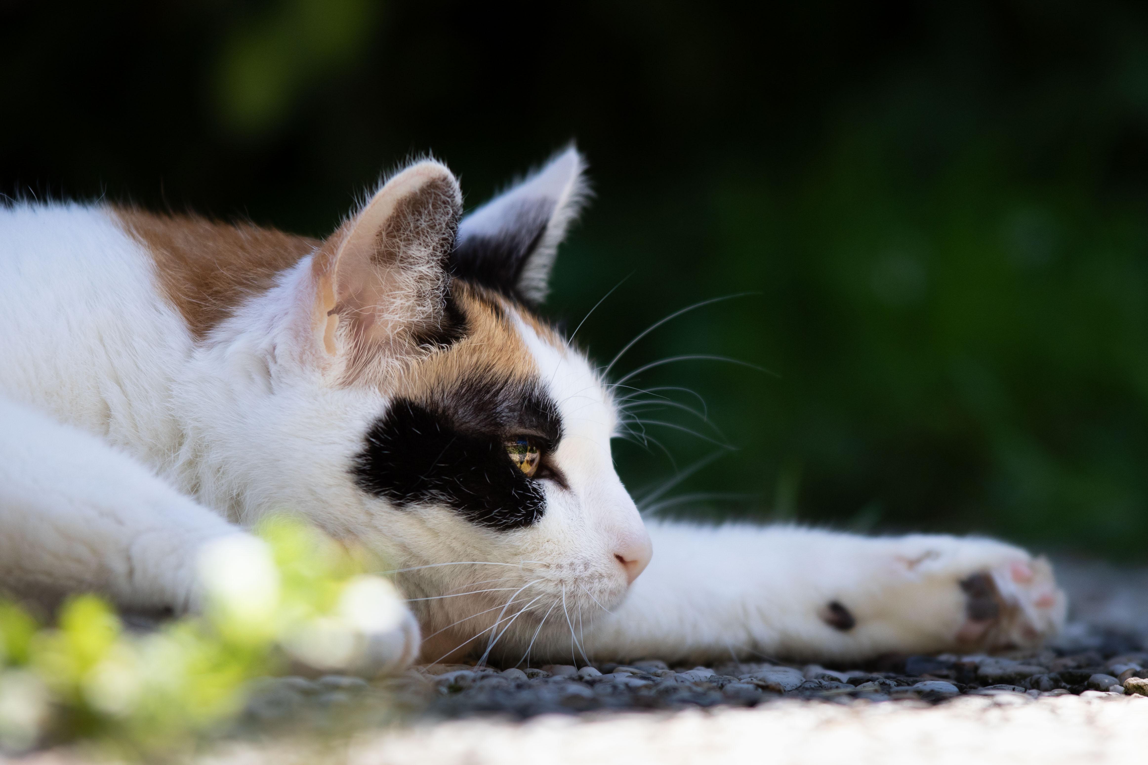 Marleen Verheul Fotografie, dierenfotografie, kattenfotografie, dierenfotograaf, lapjes kat ligt in de achtertuin