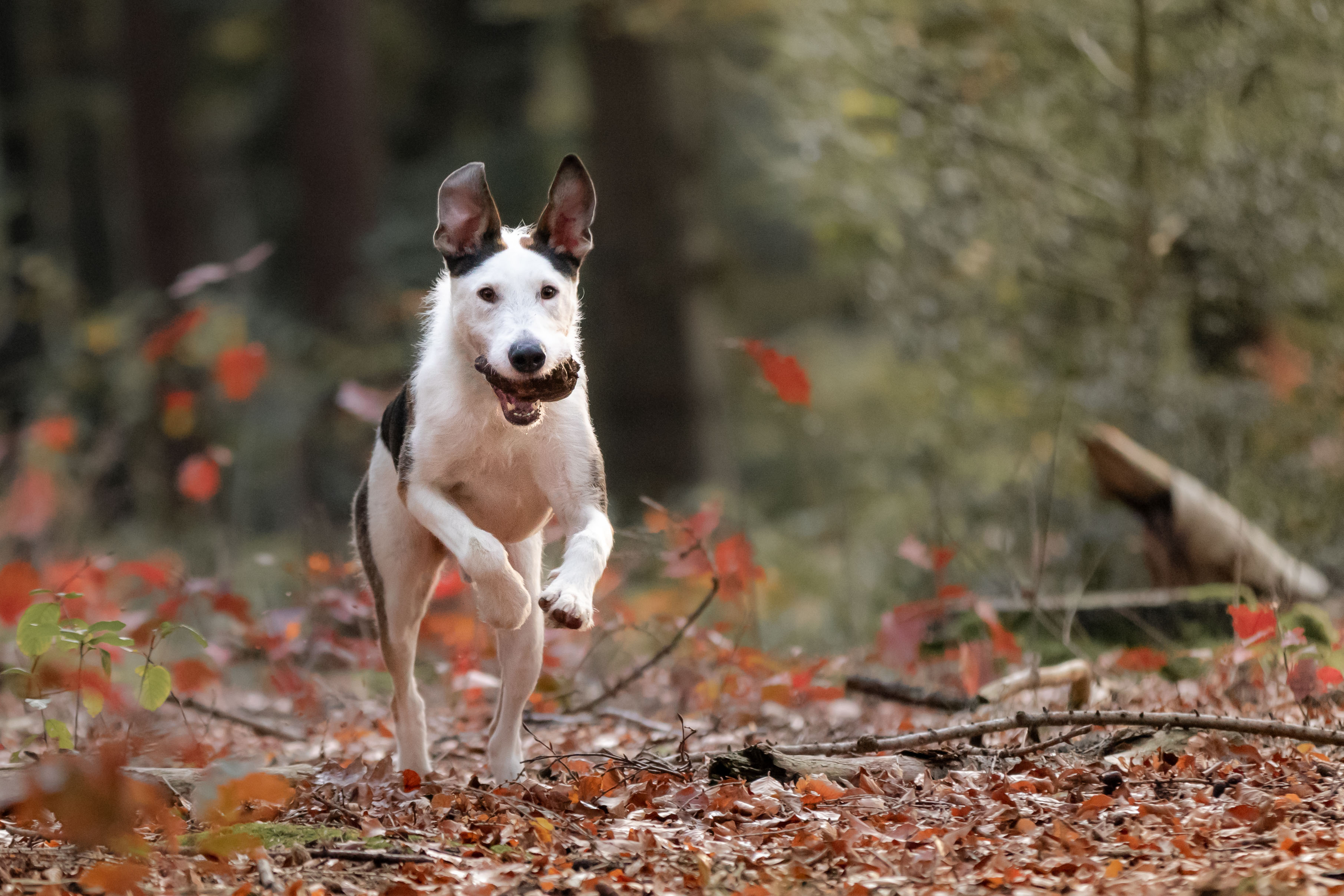 Marleen Verheul Fotografie, hondenfotografie, hondenfotograaf, hond rent door het bos