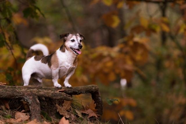 Marleen Verheul Fotografie, hondenfotografie, hondenfotograaf, Jack Russell poseert op boomwortel in bos met herfstkleuren