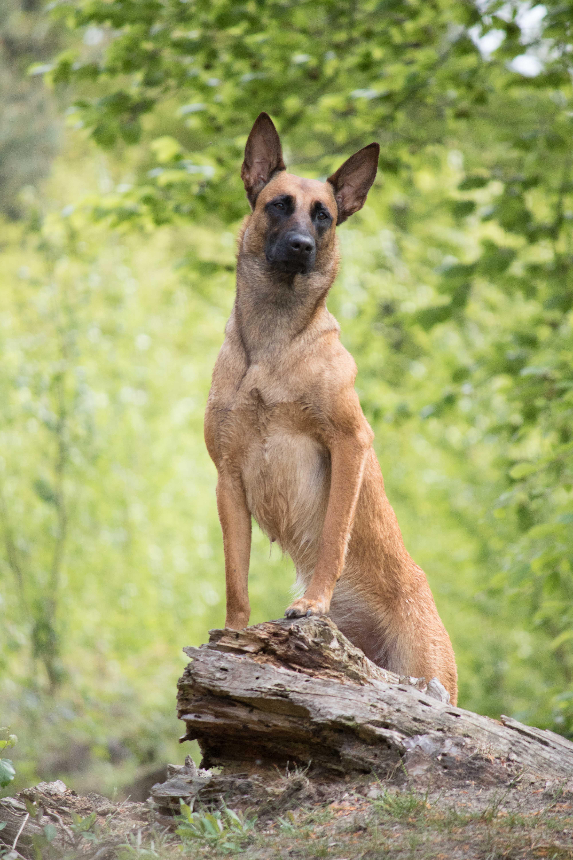 Marleen Verheul Fotografie, hondenfotografie, hondenfotograaf, Mechelse Herder poseert op boomstam in het bos