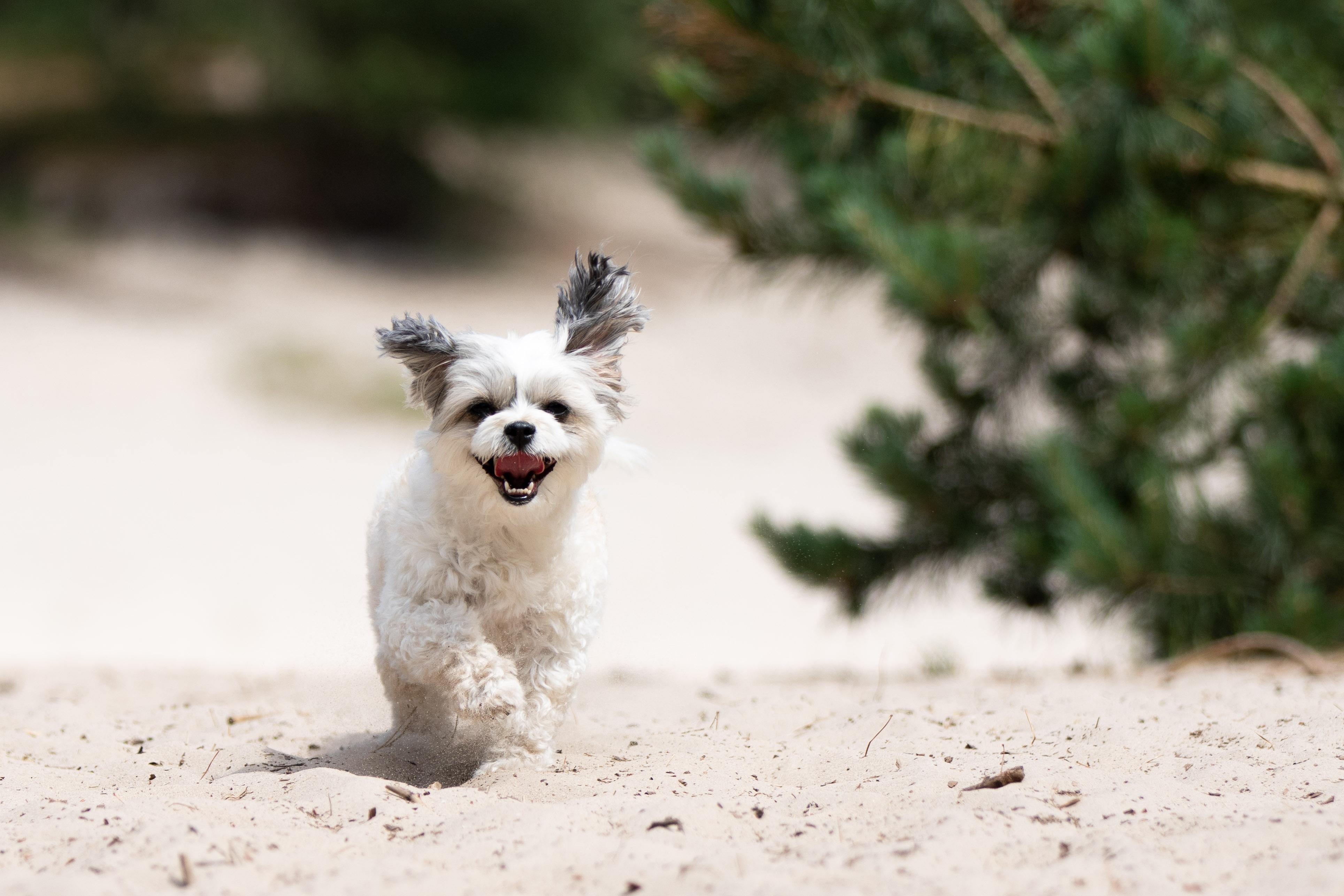 Marleen Verheul Fotografie, hondenfotografie, hondenfotograaf, Boomer hondje rent door de duinen