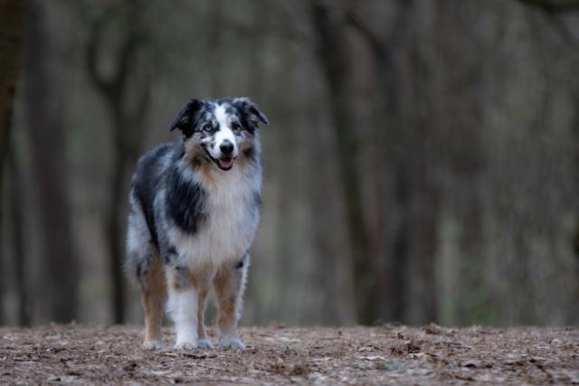Marleen Verheul Fotografie, hondenfotografie, hondenfotograaf, Australian Shepherd in het bos