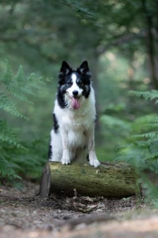 Marleen Verheul Fotografie, hondenfotografie, hondenfotograaf, Border collie poseert op een boomstam in het bos