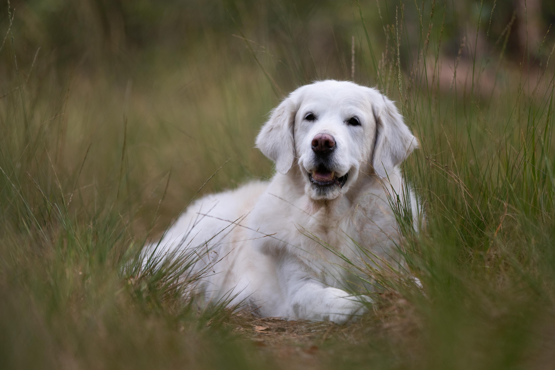 Marleen Verheul Fotografie, hondenfotografie, hondenfotograaf, Golden retriever in het hoge gras