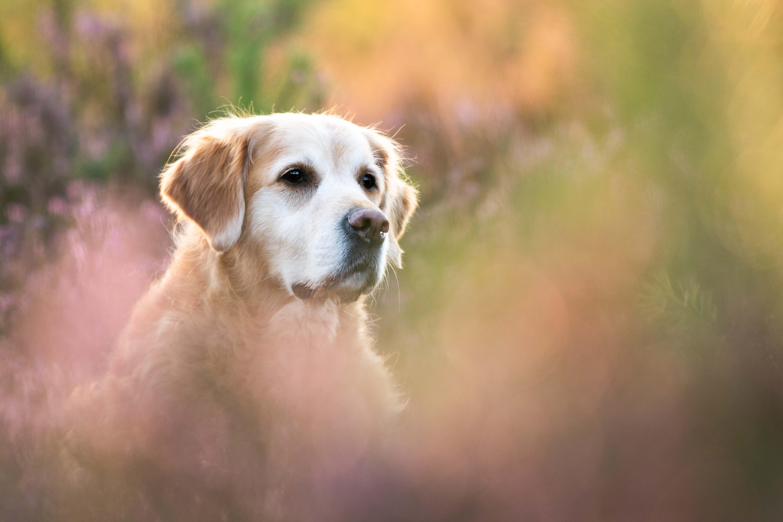 Marleen Verheul Fotografie, hondenfotografie, hondenfotograaf, Golden Retriever in de bloeiende heide