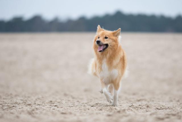 Marleen Verheul Fotografie, hondenfotografie, hondenfotograaf, IJslandse hond rent door de duinen
