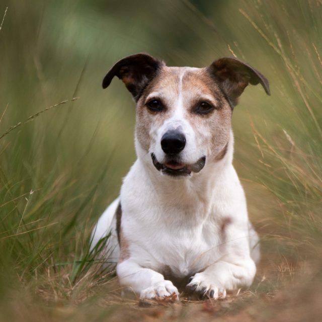 Hondenfotografie, Jackrussel in het hoge gras