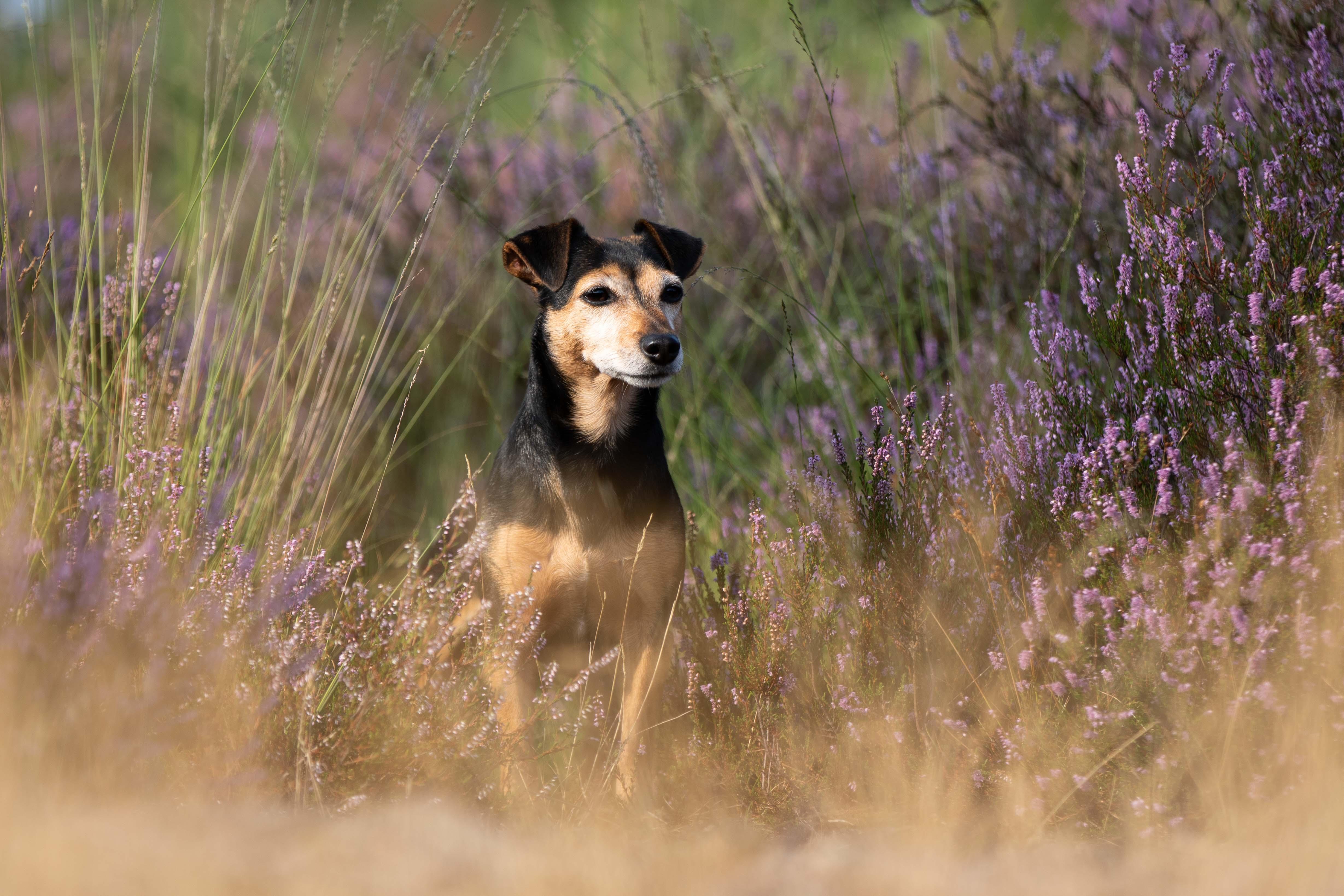 Marleen Verheul Fotografie, hondenfotografie, hondenfotograaf, Jack Russell poseert in bloeiende heide