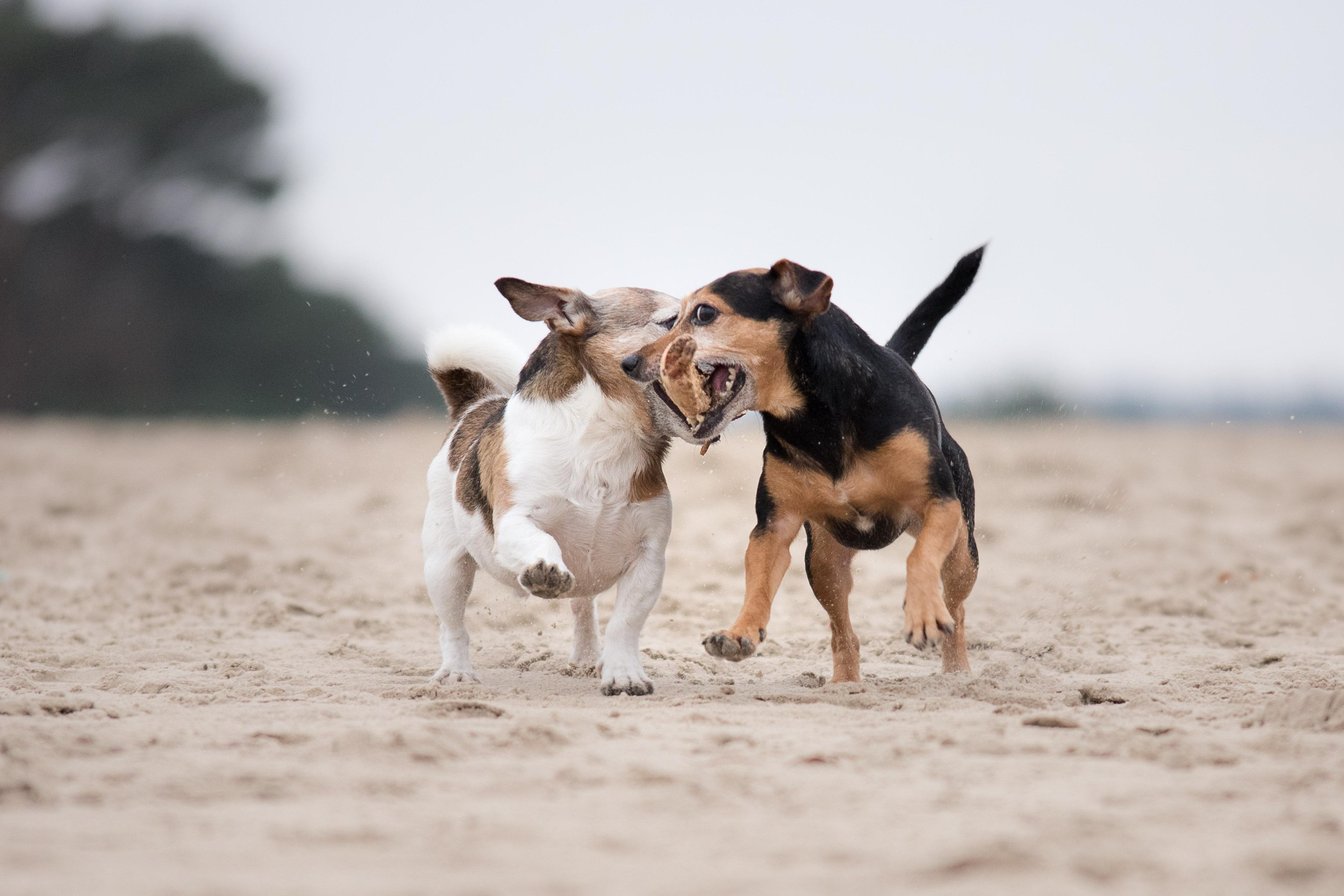 Marleen Verheul Fotografie, hondenfotografie, hondenfotograaf, twee Jack Russells rennen met een stok