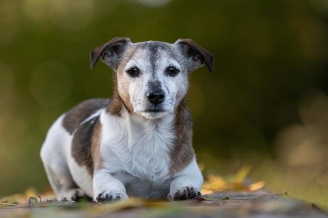 Marleen Verheul Fotografie, hondenfotografie, hondenfotograaf, Jack Russell ligt in het bos