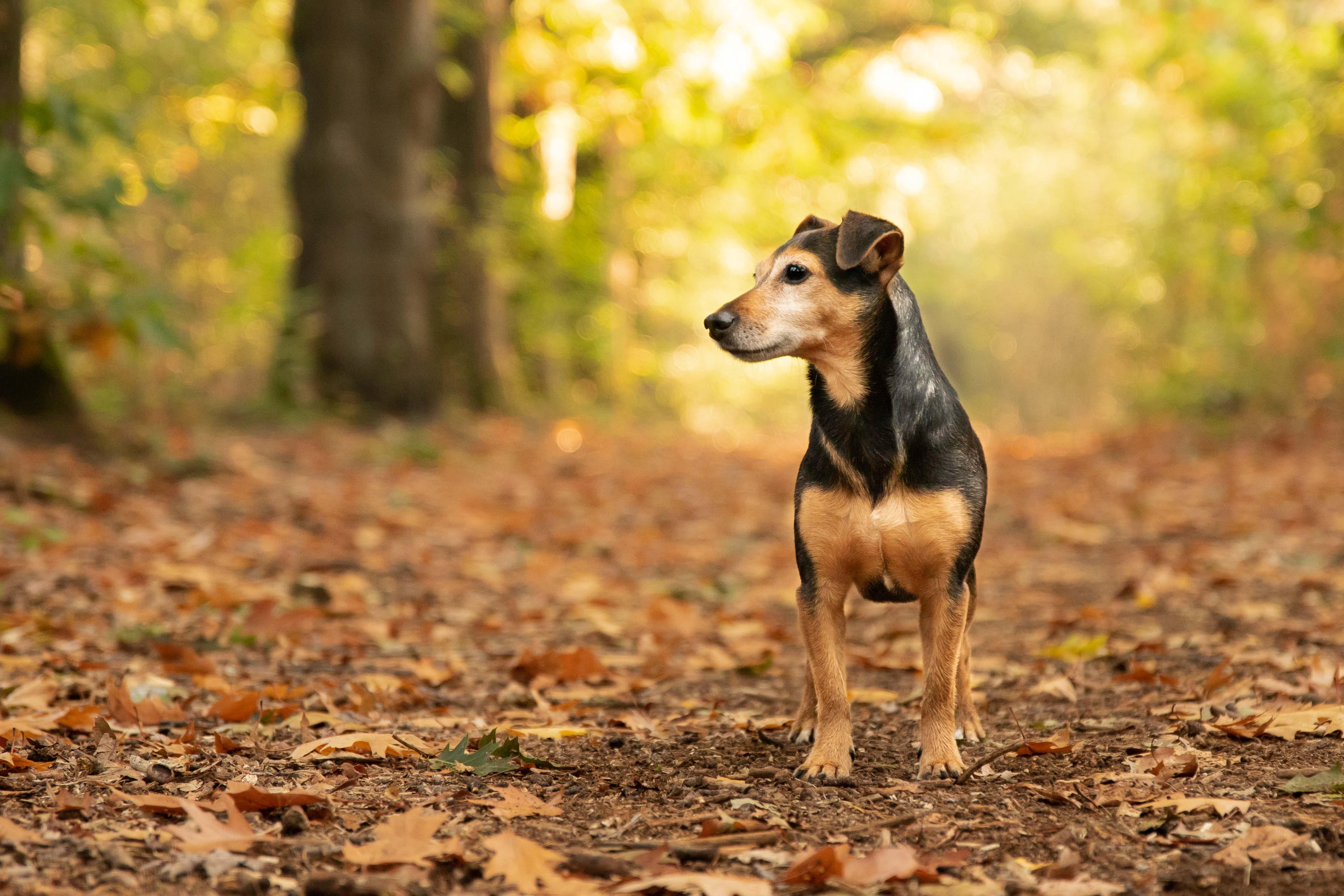 Marleen Verheul Fotografie, hondenfotografie, hondenfotograaf, Jack Russell in het bos met herfstkleuren