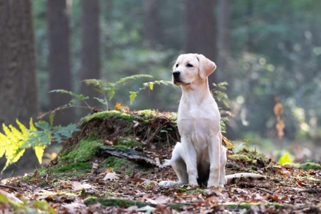 Marleen Verheul Fotografie, hondenfotografie, hondenfotograaf, Labrador pup in het bos