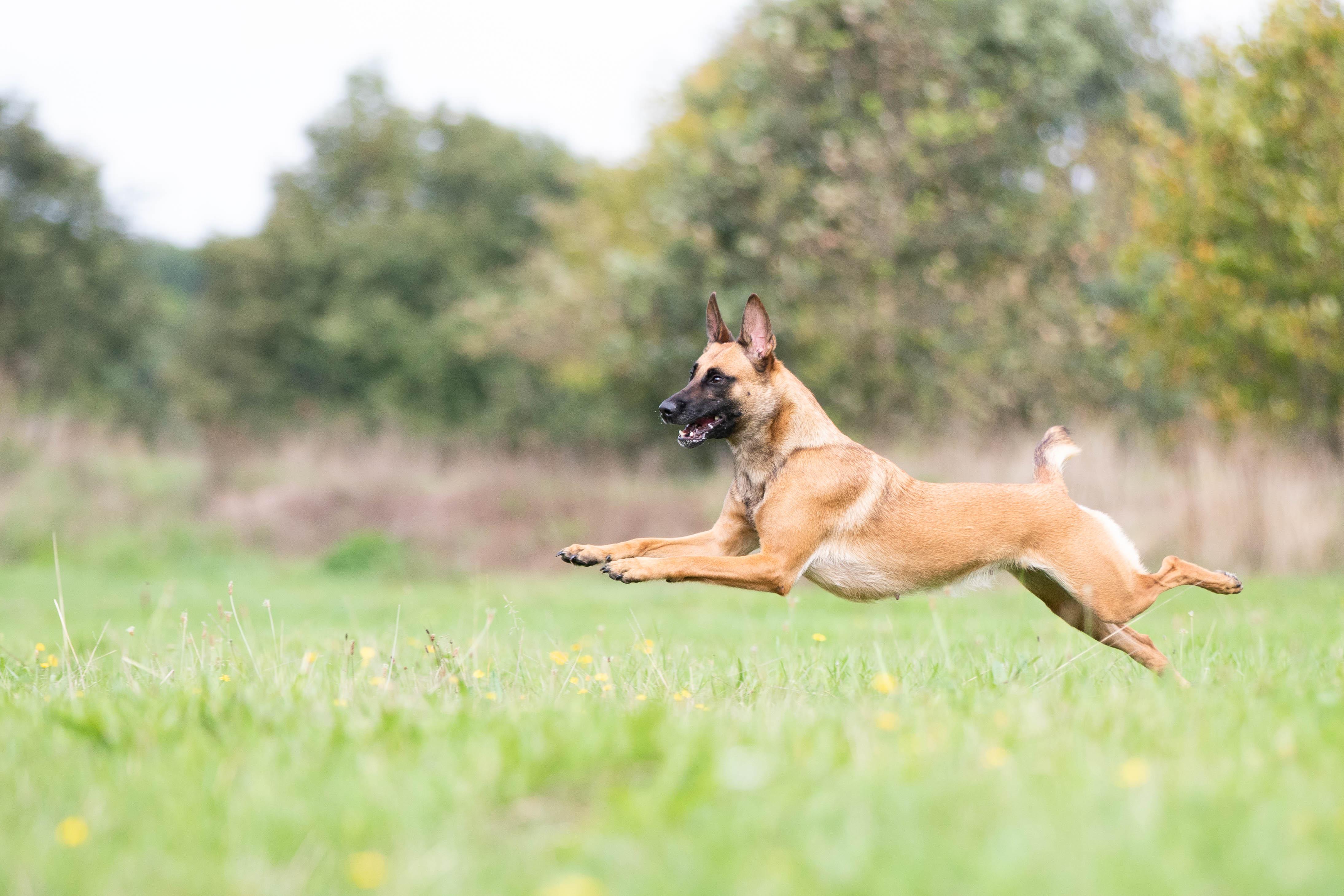 Marleen Verheul Fotografie, hondenfotografie, hondenfotograaf, Mechelse Herder rent in het gras