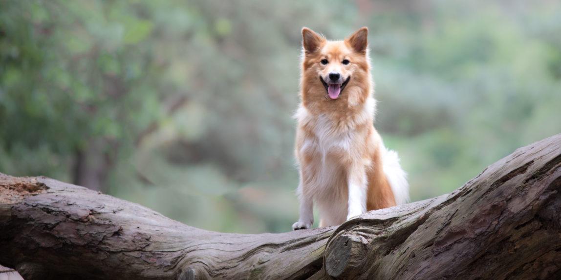 Hondenfotografie, IJslandse hond poseert op boomstam in het bos.