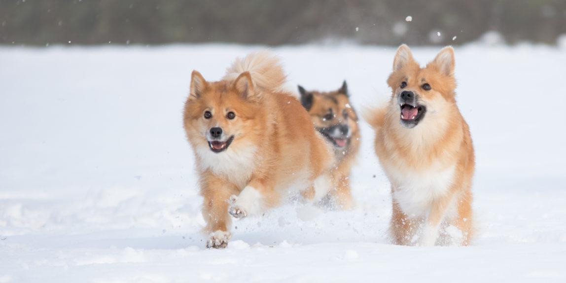 Hondenfotografie, IJslandse honden in de sneeuw