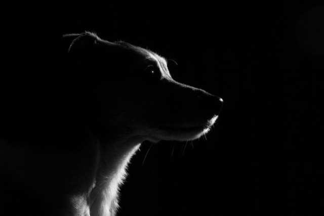 Marleen Verheul Fotografie, hondenfotografie, hondenfotograaf, low key foto van Jack Russell