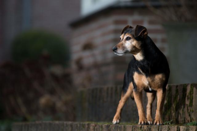 Marleen Verheul Fotografie, hondenfotografie, hondenfotograaf, Strobist fotografie, Jack Russell op een stoepje