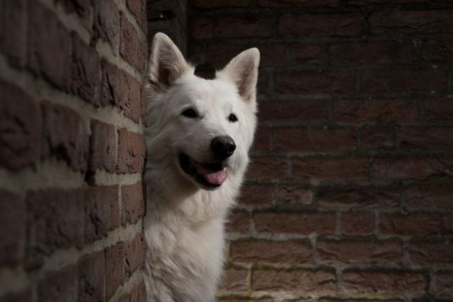 Marleen Verheul Fotografie, hondenfotografie, hondenfotograaf, Strobist fotografie, Witte herder bij Ruïne