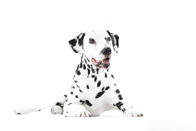 Marleen Verheul Fotografie, hondenfotografie, hondenfotograaf, studiofotografie, Dalmatiër High key