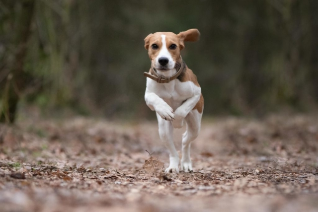 Marleen Verheul Fotografie, hondenfotografie, hondenfotograaf, beagle
