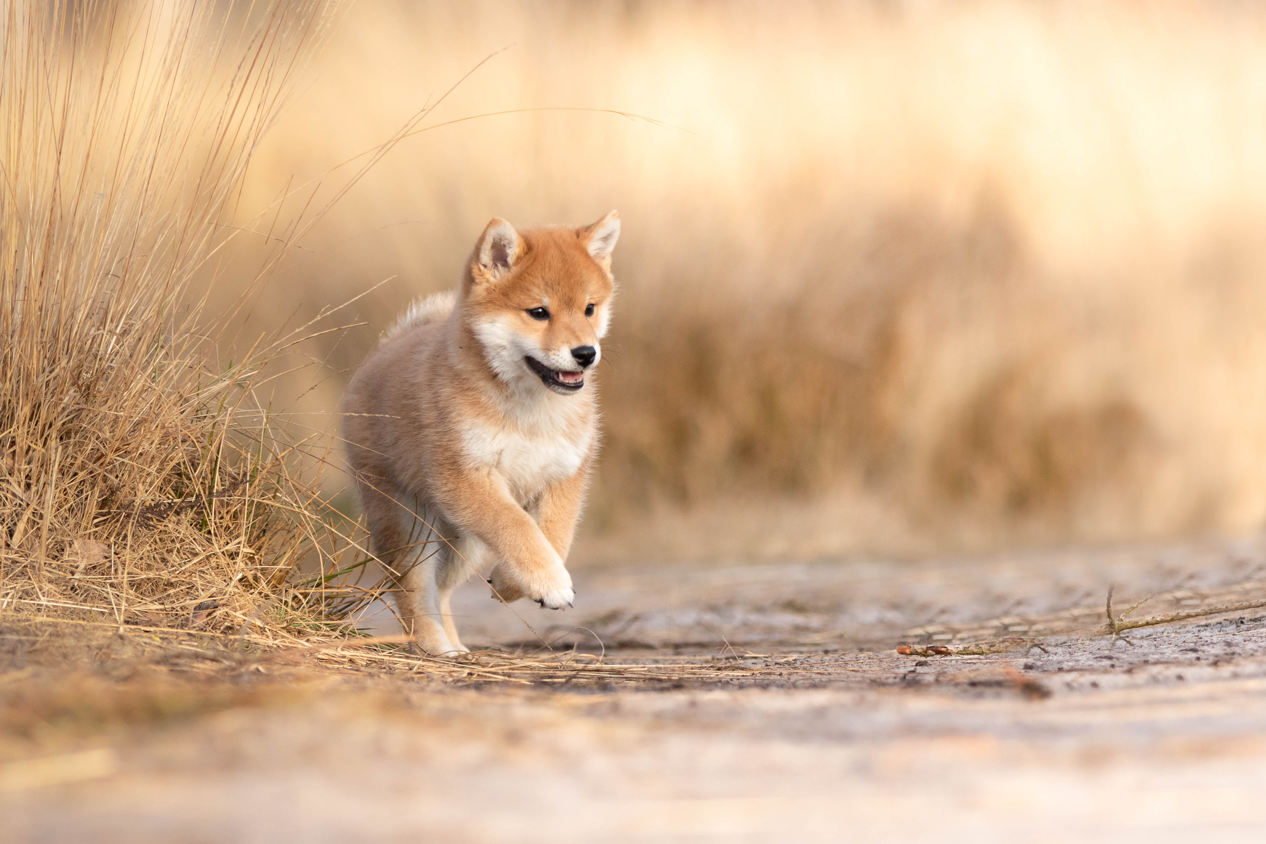 Marleen Verheul Fotografie Shiba Inu pup in de heide