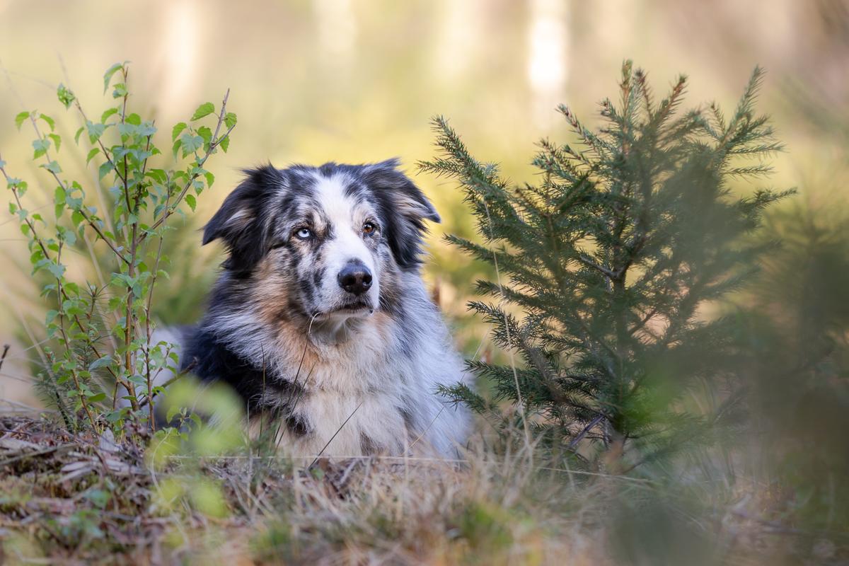 Marleen Verheul Fotografie, hondenfotografie, hondenfotograaf, Australian Sheperd