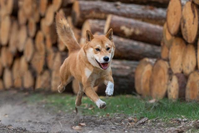 Marleen Verheul Fotografie, hondenfotografie, hondenfotograaf, Shiba Inu