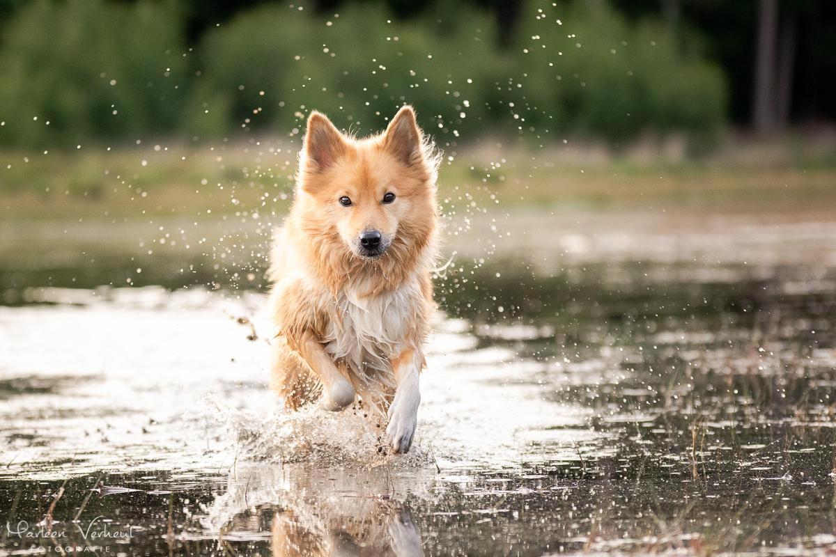 Marleen Verheul Fotografie, hondenfotografie, hondenfotograaf, actiefotografie, hond in actie, IJslandse hond rent door water